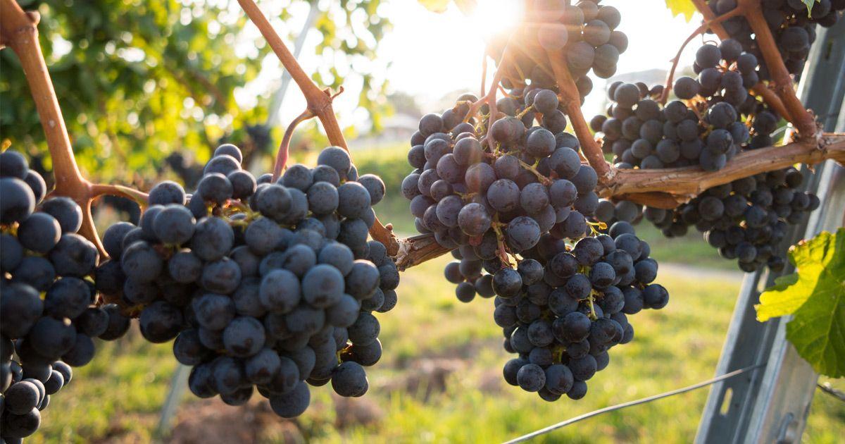 El vermut, una bebida hecha con el fruto de la uva